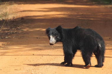 CIC continues to fund ground-breaking sloth bear research project
